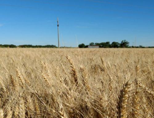 Trigo 18-19 en la recta final  Momento de cosechar su gestión comercial