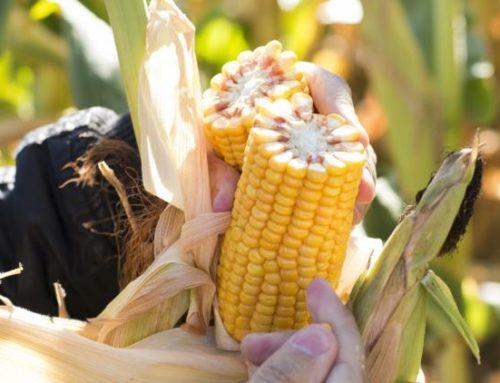 """El sur de Córdoba, la región más """"biotecnológica"""" del país para la siembra de maíz"""